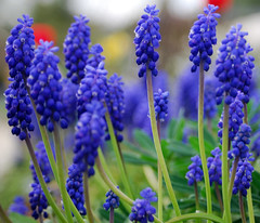 Grape Hyacinths (WittWooPhoto) Tags: flowers blue summer plants spring telephoto cumbria muscari shallowdepthoffield edenvalley differentialfocus wittoboyo paulwitterickphotography wwwwitterickcom