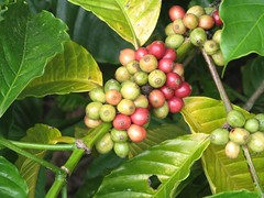 Coffee beans (golden road) Tags: india coffee beans spice kerala plantation thekkady kumily periyar southindianimages