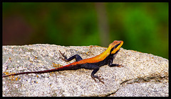 Jurasic Park (~footloosegups~) Tags: travel red nature reptile wildlife bangalore lizard banner