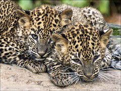 Cubs Sri Lanka Leopard 2 (Foto Martien (thanks for over 2.000.000 views)) Tags: holland netherlands dutch animal cat zoo cub kat arnhem young nederland leopard bigcat srilanka ceylon wildcat veluwe burgerszoo jong panter dierentuin gelderland dierenpark luipaard rimba panthera welp a350 srilankaleopard srilankapanter pantheraparduskotiya burgersdierenpark kotiya sonyalpha350 sigmaapo70300macro flickrbigcats ceyloneseleopard ceylonpanter martienuiterweerd srilankaansepanter martienarnhem martienholland