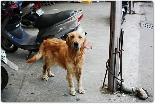 「急徵中途認養」苗栗大湖自由聯盟超市附近~有隻受傷的黃金獵犬,發現者願意負擔部份醫療,有住在附近的好心人~願意伸出援手幫助牠嗎?懇請隨手幫忙轉PO~謝謝您!20100510