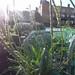 plantago coronopus / hertshoornweegbree