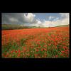 Mas allá del paraiso (m@®©ãǿ►ðȅtǭǹȁðǿr◄©) Tags: flôres red rouge rosso natureza nature amapolas flowers landscape canon canoneos400ddigital sigma sigma10÷20mmexdc ripollet barcelona catalunya españa campodeampolas ladelgadalínearoja thethinredline poppyfield poppy coquelicots m®©ãǿ►ðȅtǭǹȁðǿr◄© marcovianna marcoviannafotógrafo