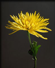 Rich and Beautiful (SAMcRAE PHOTOGRAPHY) Tags: yellow mum