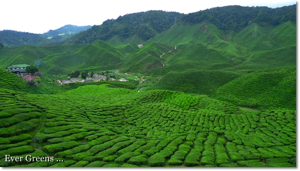 Bharat Tea Plantation