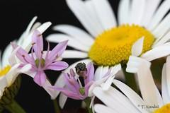 Bee on Wildflowers (tvbare) Tags: nature rural canon rebel bee missouri wildflower xsi bentoncounty colecamp tvbare