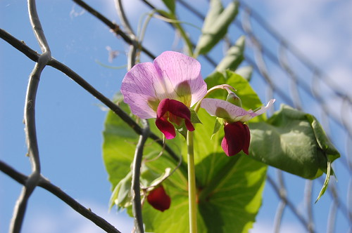 Purple/red mangetout pea F1