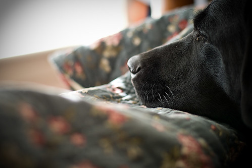 black Labrador Retriever - Maddox