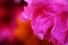 dreams are like stars, even if you never touch them they will lead you to your destiny... (Seven_Seas_Photography) Tags: pink flower macro canon dream destiny dreams azalea afp pinkorange themacrogroup