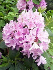 Rhododendron_6110