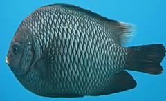 damsel fish up close (bluewavechris) Tags: ocean life blue school sea white fish nature water animal swim hawaii marine underwater snorkel dive maui spot fin creature damsel