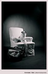 Working dog (Giovanni Gori) Tags: portrait blackandwhite bw italy dog pet broken beautiful cane work fun photography nikon funny italia mood photographer working tie bn bologna maia fotografia ritratto jackrussellterrier biancoenero blackdiamond fotografo cravatta blackwhitephotos strobist d700 flickrestrellas nikkor2470mmf28g giovannigori