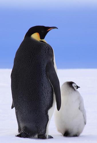 フリー写真素材|動物|鳥類|ペンギン科|コウテイペンギン・皇帝ペンギン|家族・親子(動物)|雛・ヒナ|