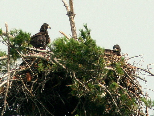 Two Eaglets 20100604