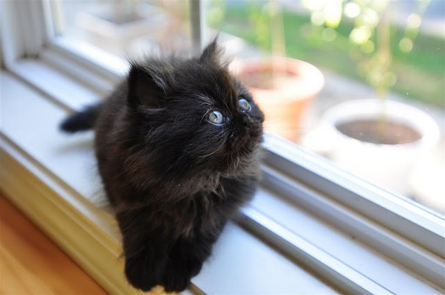 cute black kitten window