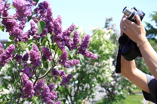 【百合が原】紫色的紫丁香反而比較少見