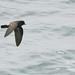 Alma de mestre (painho de cauda quadrada) - Hydrobates pelagicus - Storm Petrel