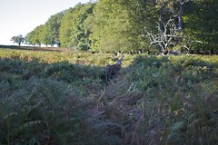 Retreating to the bracken (Roubicek) Tags: park autumn sun male london grass october stag shadows richmond deer antlers bark bracken autumnal richmondpark barking lowsun lateafternoon longshadows rutting 2470mmf28 ruttingseason canon5dmkii