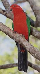 Australian King Parrot (HeatherW) Tags: bird flickr parrot alisterusscapularis springbrooknationalpark
