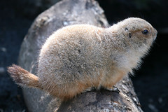 Prairie dog - 02 (Kabacchi) Tags: animal squirrel prairiedog mammalia      ~prairiedog~