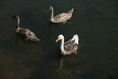 Swoose and cygnets (Son of Casterbridge) Tags: swan goose dorset hybrid swoose woolbridge