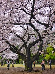 Cherry Drops (Douguerreotype) Tags: people tree cherryblossom blossom street pink flowers cherry city park tokyo japan urban sakura photography photographer