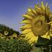 Sunflower Day-18