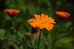 summer in the garden (JoannaRB2009) Tags: flower summer orange flowerbud green garden nature plant closeup