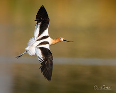 Fly By (craig goettsch) Tags: americanavocetrecurvirostraamericana hendersonbirdviewingpreserve2017 avian bird nature wildlife water reflction nikon d500