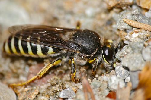 Sand Wasp (Bembix tarsata) digging a hole ...