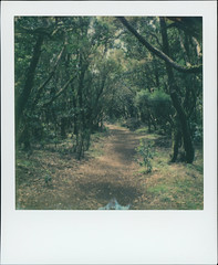 Parque nacional de Garajonay 68 (sycamoretrees) Tags: 600 analog canarias canaryislands color600 color600201604 color600generation31 film forest garajonay impossible instantfilm integral integralfilm lagomera laurelforest laurisilva marianrainerharbach moss nationalpark parquenacionaldegarajonay path polaroid rainforest slr680 spain subtropics trail trees