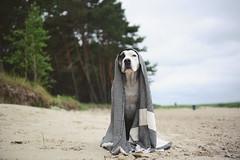 26/52 when the rain finally stopped (Jutta Bauer) Tags: 52weeksfordogs 52weeksforedgar 2652 edgar dog excellentedgar boxermix pitbullmix beach summer rain blanket