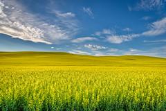 Canola Fields near Palouse, Washington State (diana_robinson) Tags: canolafields sky yellowplants canola palouse washingtonstate agriculture farming rapeseed brassicanapus yellowfield plantsgrowing easternwashington