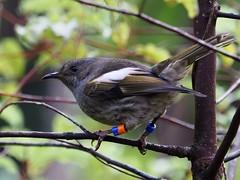Hihi - female - OB-Bm (digitaltrails) Tags: stitchbird hihi karoribirdsanctuary karori bird sanctuary new zeland karorisanctuary notiomystiscincta newzealand zealandia