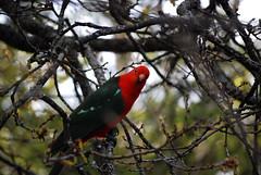 King (S. James) Tags: bird kingparrot australianbird nativebird