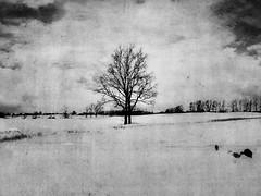 (alyssa.nicole) Tags: winter blackandwhite tree texture ilovethistree alyssanicole twotreephotography twotreesite