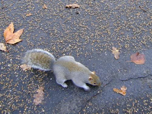 londra scoiattolo