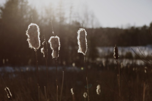 just some cat tails