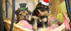 pups (digitalshay) Tags: dog dogs yorkie pups puppies yorkies yorkshireterrier picnik d3 babydogs nikond3