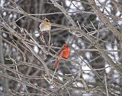 Cardinals (Don Iannone) Tags: winter snow birds nikon bokeh cardinals naturephotography treelimbs northeastohio doniannone greatercleveland january2010 mayfieldvillageohio doniannonephotography nikond2xcamera visualadvantagephotography