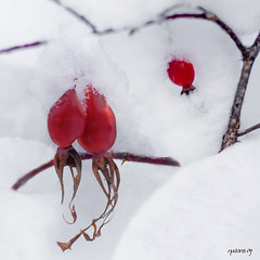 Together (natans) Tags: red white snow finland story oulu rosehip wonter