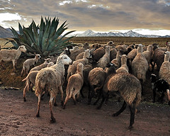 Peru Sheep on the Road (MY DOG TAZ) Tags: travel vacation mountains peru inca cuzco outdoors cusco inka andes machupicchu sacredvalley incatrail inkatrail quechuan