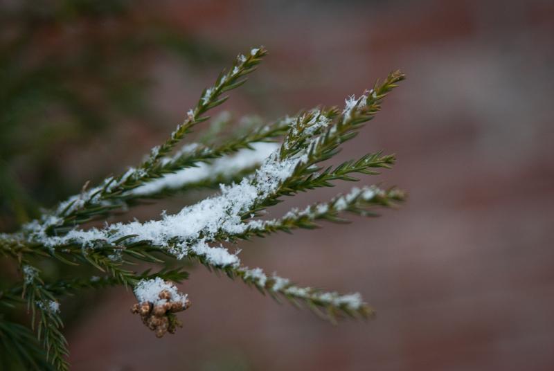 Day 90: Snowy Pine