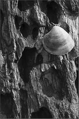 26- Shell (AYUDarte) Tags: textura mar shell concha roca