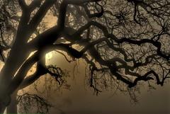 oaks in fog (buffalo_jbs01) Tags: california tree fog night oak sanjose metcalf backlit d200 nkon cotcpersonalfavorite goldstaraward nikonflickraward artofimages bestcapturesaoi mygearandmepremium