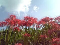 DVC00307 (Tamago Moffle) Tags: flowers plants japan village district area  mura  nara asuka  higanbana    lycoris radiata     asukamura     inabuchi  narapref   takaichi  takaichidistrict takaichigun