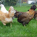 Joel's Coop :: Ameraucanas are great 'first chickens'