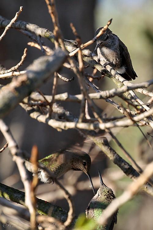 Anna's Hummingbird fledgling 091-6