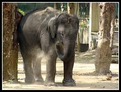 The little cute one... Looking for freedom (Goutam Gujjar) Tags: freedom kid elephants dsc h9 goutam gujjar