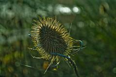 Winter's Teasel... (Chris H#) Tags: winter sunlight northamptonshire teasel cobwebs s3000 wonderfulnature shadowlight summerleysnaturereserve backgroundbokeh nikond5000 nikor50mmf18lens wintersteasel driedbrown